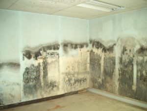 black mold on drywall - homebiotic - types of mold